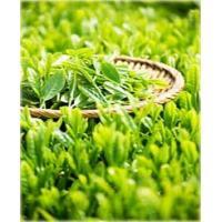 Экстракт Зеленого чая ПГЭ