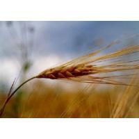 Зародышей пшеницы масло нерафинированное, 500 грамм