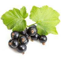 Экстракт Смородины черной (плоды) СК-СО2, 10мл