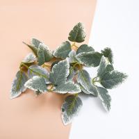 Листья светло-зеленые, 1 розетка
