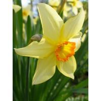 Нарцисс, отдушка Англия, 100 гр